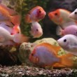 Tropical freshwater aquarium with big red fish — Stock Video #45696221