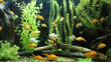 Green beautiful planted tropical freshwater aquarium with fishes — Stock Video