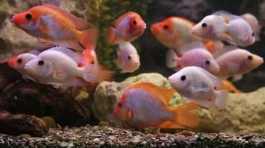 Tropical freshwater aquarium with big red fish — Stock Video