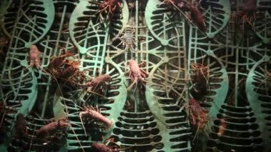 Lobster alive underwater detail view in an aquarium — Stock Video
