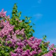 Постер, плакат: Purple lilac bush blooming in May day City park
