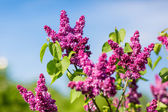 Purple lilac bush blooming in May day. City park — Stock Photo