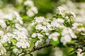 Weiße Blüten von den Kirschbäumen — Stockfoto