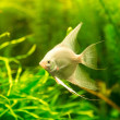 Tropical fish PTEROPHYLLUM SCALARE — Stock Photo #48885221