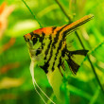 Tropical fish PTEROPHYLLUM SCALARE — Stock Photo #48885247