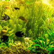 Ttropical freshwater aquarium with fishes — Stock Photo #48885285