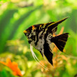 Tropical fish PTEROPHYLLUM SCALARE — Stock Photo #48885339