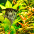 Tropical fish PTEROPHYLLUM SCALARE — Stock Photo #48885479