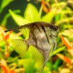Tropical fish PTEROPHYLLUM SCALARE — Stock Photo #48885509