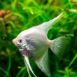 Tropical fish PTEROPHYLLUM SCALARE — Stock Photo #48886461