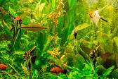 Ttropical freshwater aquarium with fishes — Photo