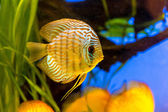 Aquarium with tropical fish of the Symphysodon discus spieces — Stock Photo