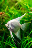 Tropical fish PTEROPHYLLUM SCALARE — Stock Photo