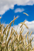 A wheat field, fresh crop of wheat — Stock Photo