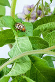Colorado potato beetle — 图库照片