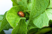 Colorado potato beetle — Foto Stock