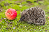Wild Hedgehog is looking for a food — Stock Photo