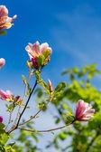 Manolya ağacı — Stok fotoğraf
