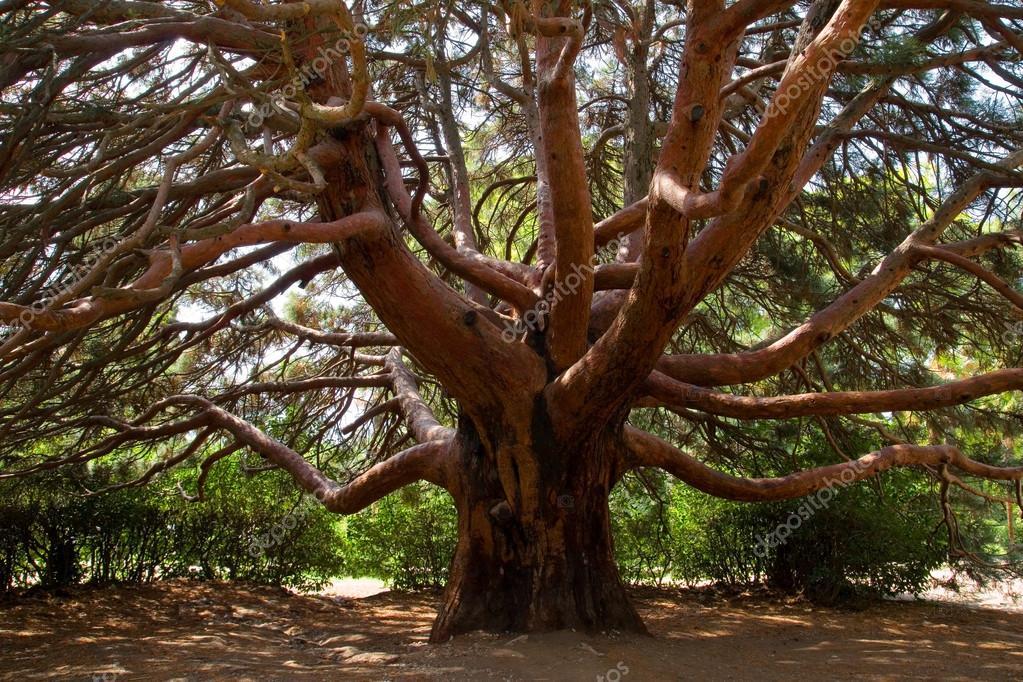 有棵大松树– 图库图片