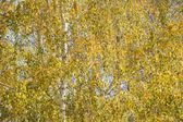Sfondo di fogliame di betulla. — Foto Stock