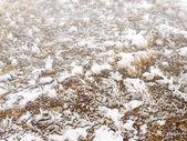 Erba coperta di neve. — Foto Stock