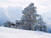 Snowy pine-trees. — Stock Photo