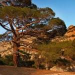 Pine tree. — Stock Photo