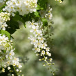 Stock Photo: Flowering bird cherry tree.