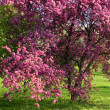 Stock Photo: Flowering plum tree.