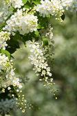 Flowering bird cherry tree. — Stock Photo