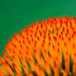 Echinacea flower closeup. — Foto de Stock