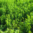 Lucerne (alfalfa) background. — Stock Photo