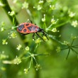 Pyrrhocoris apterus (red bug) on green plant. — Stock Photo