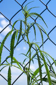 Hemp on wire netting. — Stock Photo