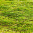 Long green creeping grass background. — Photo