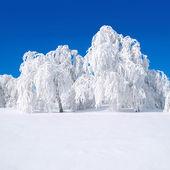 Snowy trees. — Stock Photo