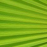 Palm leaf texture — Stock Photo