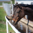 Horse drinks water — Foto Stock