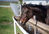 Horse drinks water — Stock Photo