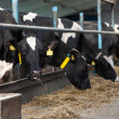Cows feeding in large cowshed — Stock Photo #17985117