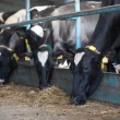 Stock Photo: Cows feeding in large cowshed