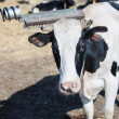 Cow scratches her head — Stock fotografie