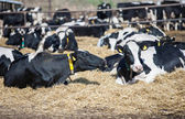 Milk cows on a rest — Stock Photo