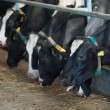 Cows feeding in large cowshed — Stock Photo #18268781