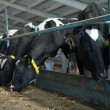 Cows feeding in large cowshed — Stock Photo #18268801
