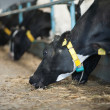 Cows feeding in large cowshed — Stock Photo #18268803