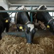 Cows feeding in large cowshed — Stock Photo #18268813