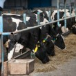 Cows feeding in large cowshed — Stok fotoğraf