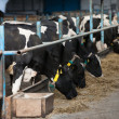 Cows feeding in large cowshed — Stock Photo #18268901