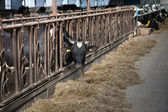 Cow feeding in large cowshed — Stock Photo